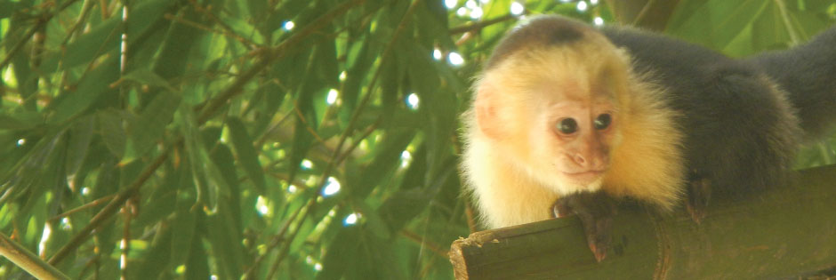 Monkeys-Learn-Spanish-in-Costa-Rica